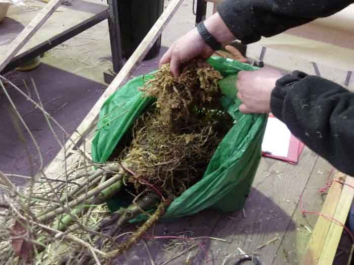 bagging roots in moss